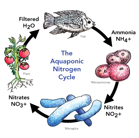 aquaponics-nitrogen-cycle-2